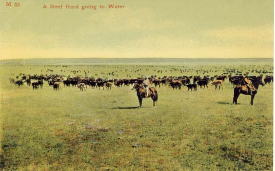 A beef herd going to water postcard 1906