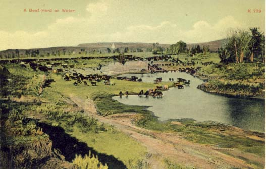 A beef herd on water postcard