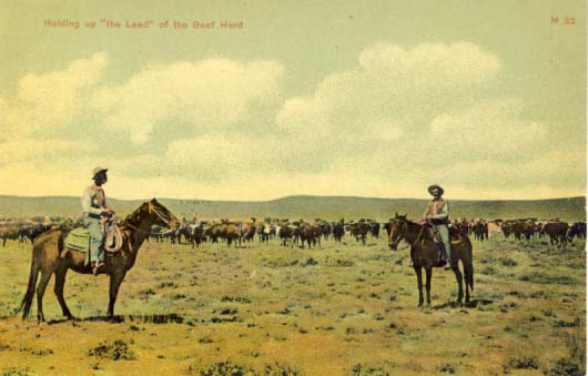 Holding up 'the lead' of the beef herd, postcard 1907