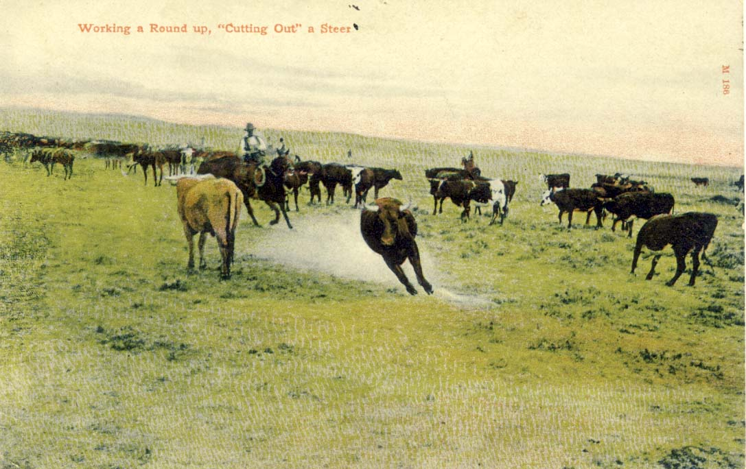 Working a round up, 'cutting out' a steer, postcard