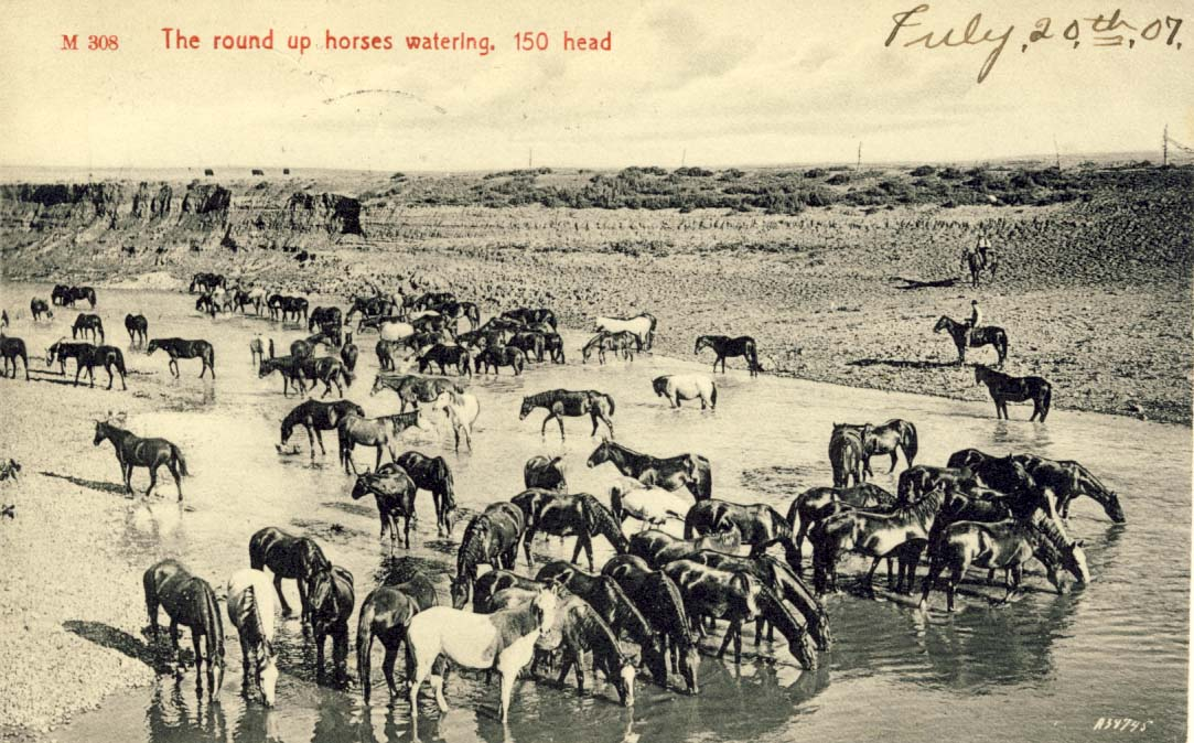 The round up horses watering: 150 head postcard