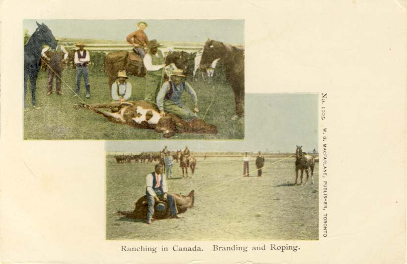 Ranching in Canada. Branding and roping, postcard
