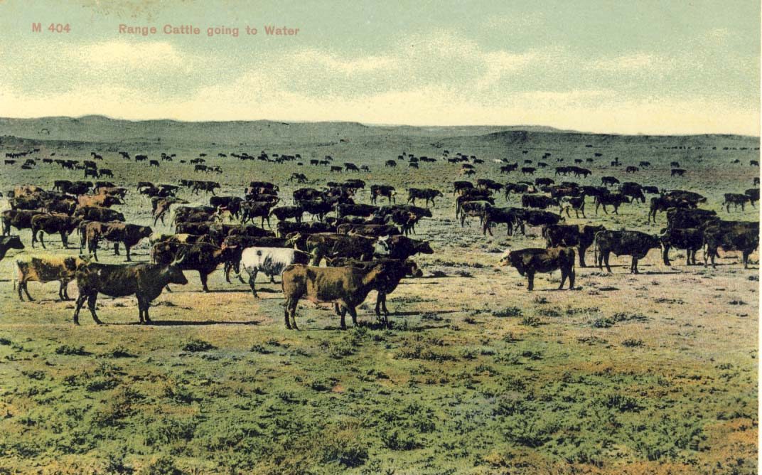 Range cattle going to water, postcard