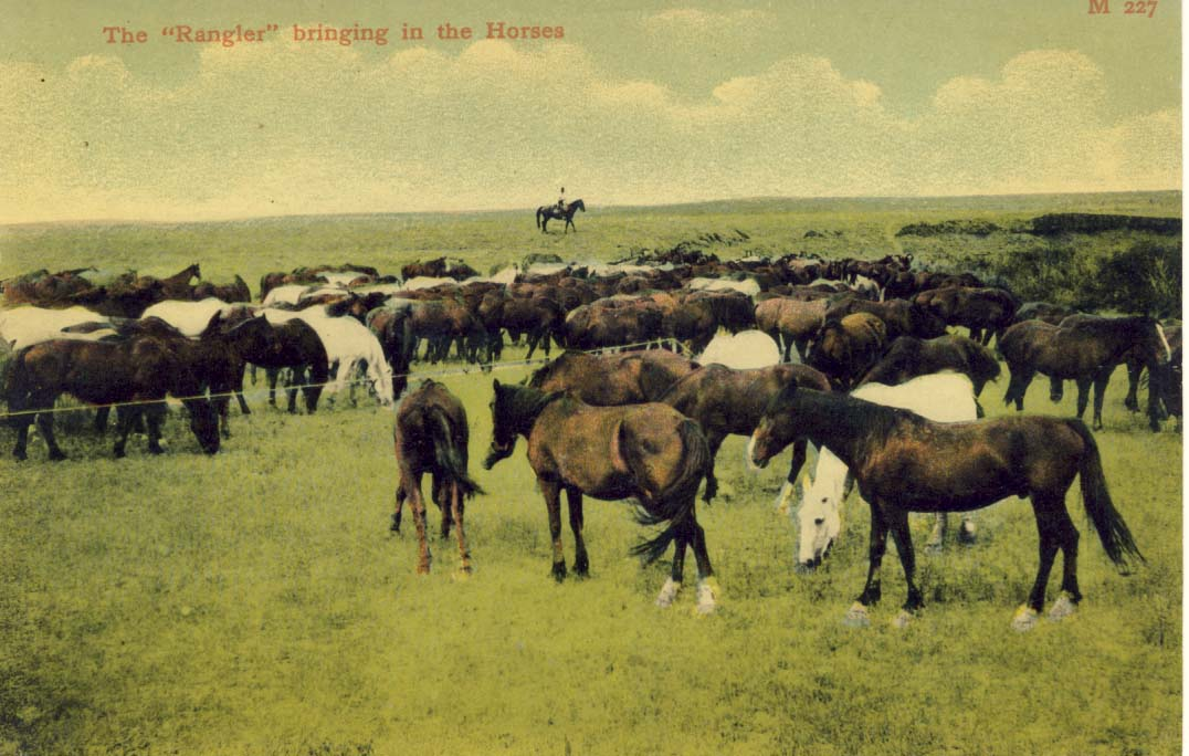 The 'Rangler' bringing in the horses, postcard