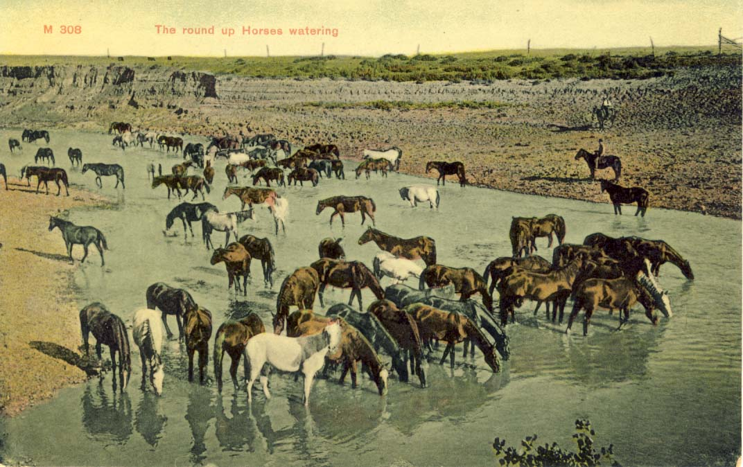 The round up horses watering, postcard