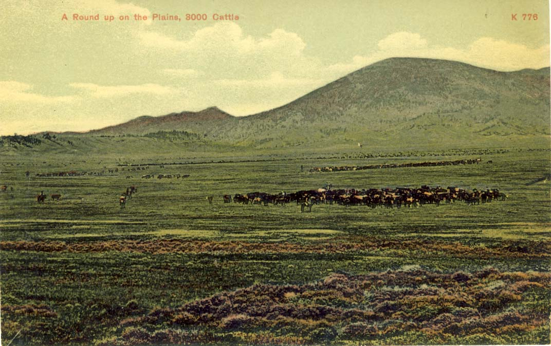 A round up on the plains, 3000 cattle, postcard