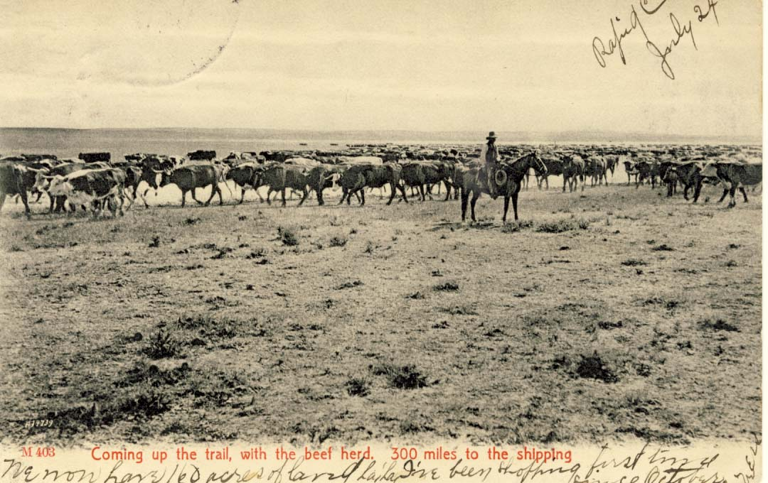 Coming up the trail, with the beef herd, postcard 1906
