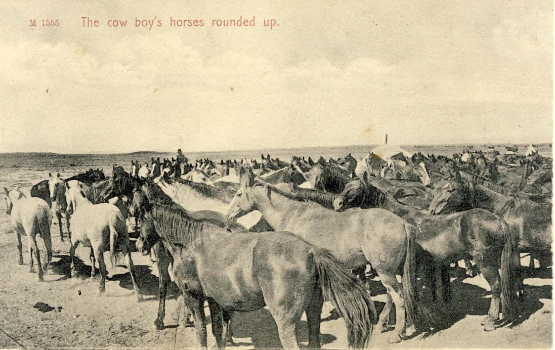 The cow boy's horses rounded up, postcard 1906