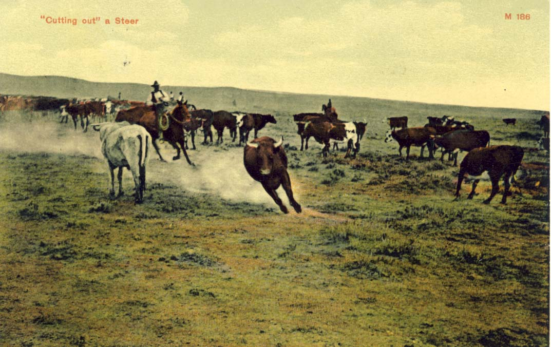 Cutting out a steer, postcard 1906
