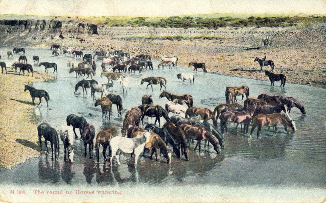 The round up horses watering, postcard 1907
