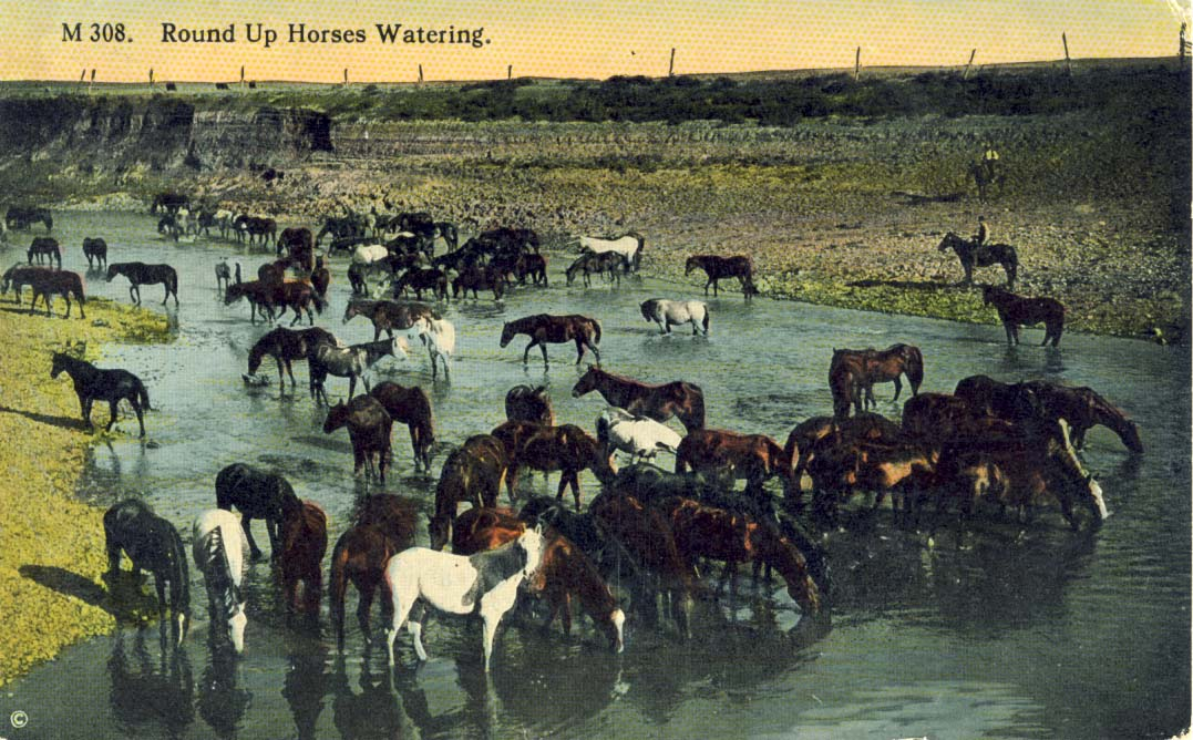 Round up horses watering, postcard 1915