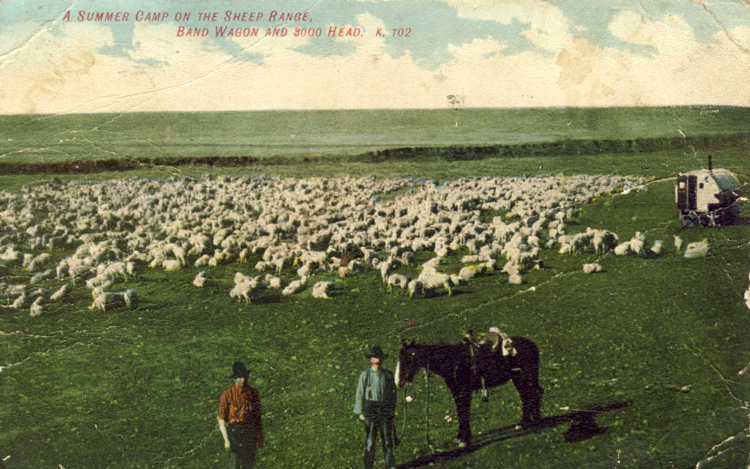 A summer camp on the sheep range, band wagon and 3000 head, postcard 1908
