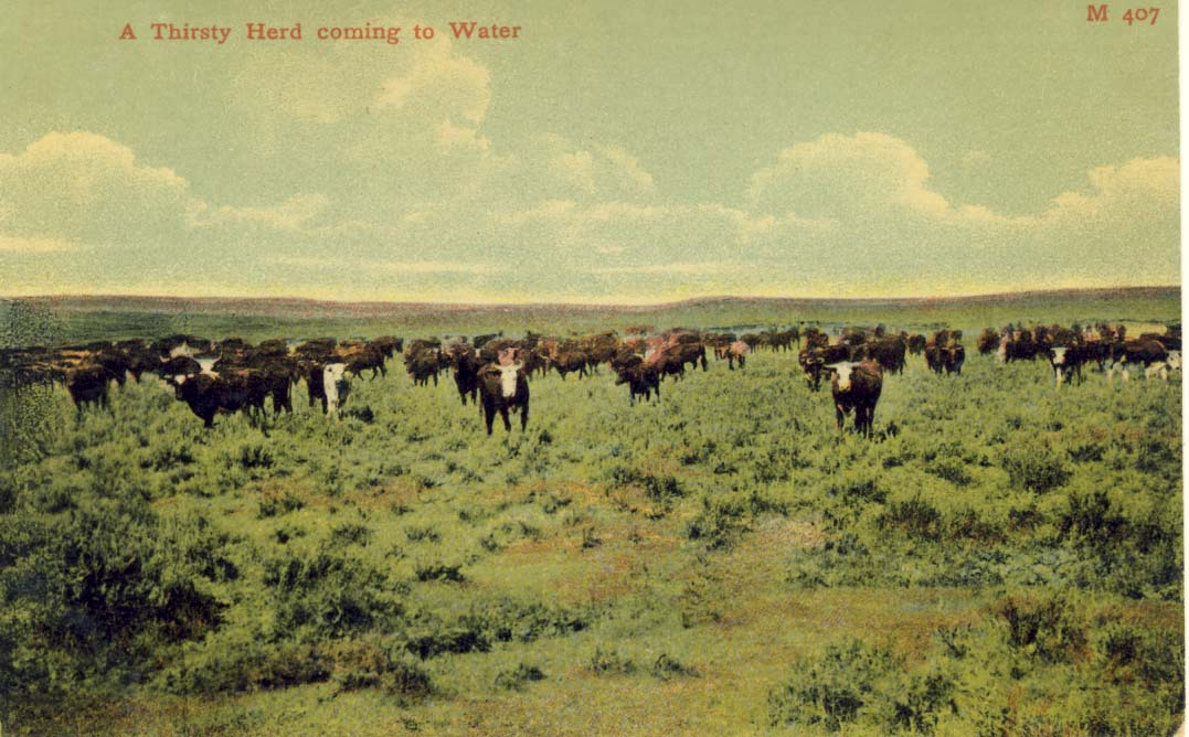 A thirsty herd coming to water, postcard