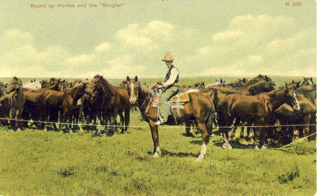Round up horses and the 'rangler', postcard