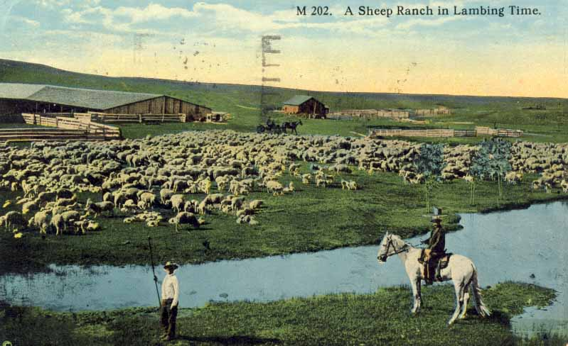 A sheep ranch in lambing time postcard